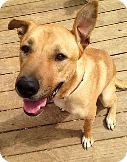 Mastiff Mix Dog for adoption in ST LOUIS, Missouri - Brutus