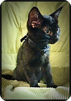 Domestic Shorthair Kitten for adoption in Great Falls, Montana - Roxy
