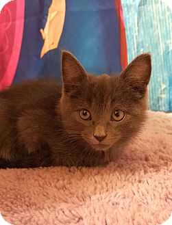 Russian Blue Kitten for adoption in Chattanooga, Tennessee - Pikachu