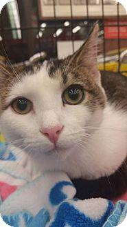 Calico Kitten for adoption in Columbus, Ohio - Shiraz