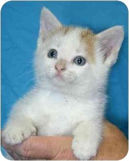 Cymric Kitten for adoption in Ladysmith, Wisconsin - Mae
