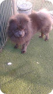 Chow Chow Dog for adoption in Sacramento, California - Sammy