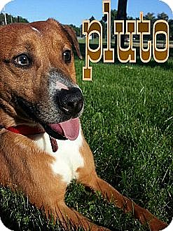 Labrador Retriever Mix Puppy for adoption in Silver Lake, Wisconsin - Pluto Pup