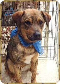 Shepherd (Unknown Type) Mix Dog for adoption in Las Vegas, Nevada - Jackson