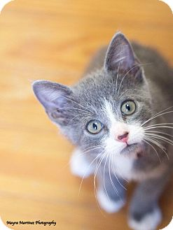 Domestic Shorthair Kitten for adoption in Knoxville, Tennessee - Nutella