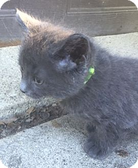 Russian Blue Kitten for adoption in Livonia, Michigan - C9 Litter-Nathaniel-ADOPTED
