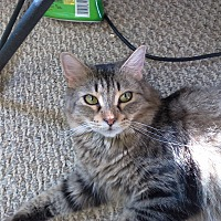Domestic Mediumhair Cat for adoption in wyoming valley, Pennsylvania - Trinity