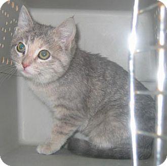 Domestic Shorthair Kitten for adoption in Garland, Texas - Bobby Sue