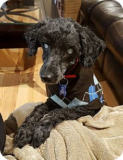 Poodle (Miniature) Dog for adoption in Troy, Michigan - Bitsy