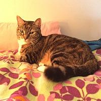 American Bobtail Cat for adoption in Stickney, Illinois - Tiggar