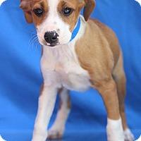 Basset Hound Mix Puppy for adoption in Waldorf, Maryland - Karthus