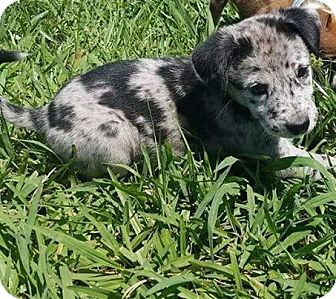 Catahoula Leopard Dog Mix Puppy for adoption in Oxford, Connecticut - Sully