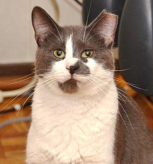 Domestic Shorthair Cat for adoption in Brooklyn, New York - Kaz: Big, Playful, Beautiful Boy