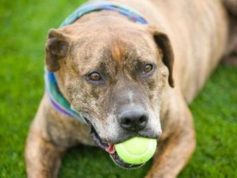 Boxer/American Staffordshire Terrier Mix Dog for adoption in Hastings, Minnesota - Ranger
