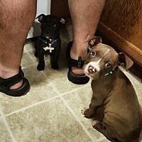 Adopt A Pet :: Babies - Harriman, TN