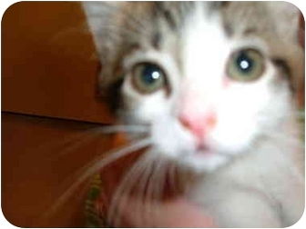 Calico Kitten for adoption in No.Charleston, South Carolina - KITTENS
