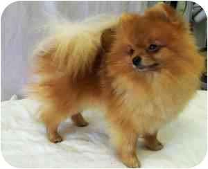 Pomeranian Dog for adoption in Kokomo, Indiana - PeeWee