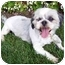 Photo 1 - Shih Tzu Dog for adoption in Los Angeles, California - HOOPER