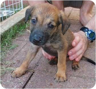 German Shepherd Dog/Chow Chow Mix Puppy for adoption in Austin, Texas - Angel
