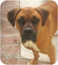 Boxer Dog for adoption in El Segundo, California - Ferguson