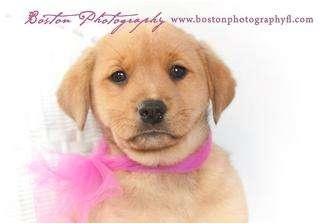 Labrador Retriever/Rottweiler Mix Puppy for adoption in Callahan, Florida - Kacy