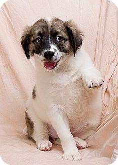 Shepherd (Unknown Type)/Terrier (Unknown Type, Small) Mix Puppy for adoption in Anna, Illinois - ELSA