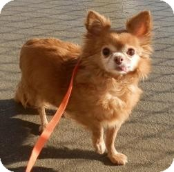 Chihuahua Dog for adoption in Shawnee Mission, Kansas - Bonnita