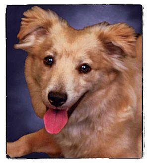 Corgi/Sheltie, Shetland Sheepdog Mix Dog for adoption in Newland, North Carolina - Benji