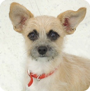 Cairn Terrier/Jack Russell Terrier Mix Dog for adoption in La Habra Heights, California - Foxy