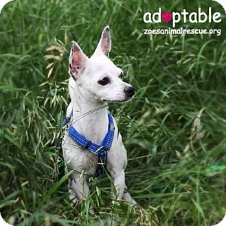 Chihuahua Mix Dog for adoption in Edmonton, Alberta - Kiimak