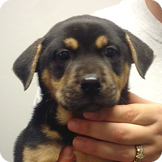 Rottweiler/Boxer Mix Puppy for adoption in Greencastle, North Carolina - Quinn