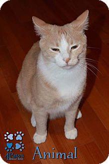 Domestic Shorthair Cat for adoption in Merrifield, Virginia - Animal