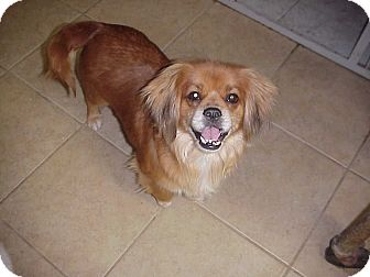 Spaniel (Unknown Type) Mix Dog for adoption in Cathedral City, California - AUDREY