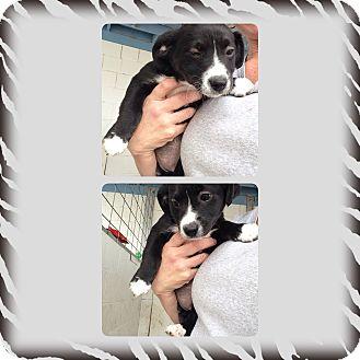 Dachshund/Beagle Mix Puppy for adoption in Yerington, Nevada - Leyla