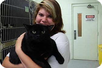 Domestic Shorthair Cat for adoption in Elyria, Ohio - Spry