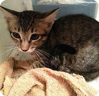 Domestic Shorthair Cat for adoption in San Marcos, Texas - Boysenberry