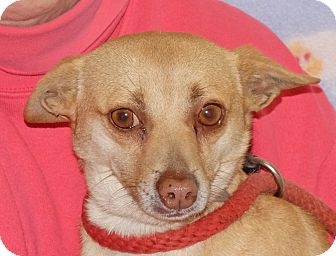Chihuahua/Chihuahua Mix Dog for adoption in Spokane, Washington - Weenie