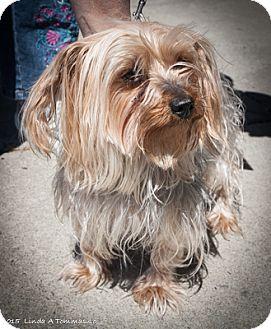 Yorkie, Yorkshire Terrier Dog for adoption in Loudonville, New York - LOLA