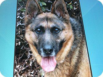 German Shepherd Dog Dog for adoption in Los Angeles, California - VICTORIA VON VEE