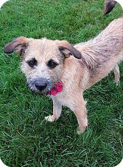 Tibetan Terrier Mix Dog for adoption in New Oxford, Pennsylvania - Isabelle