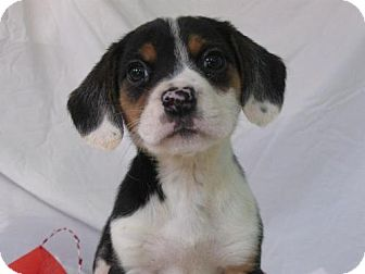 Beagle Mix Puppy for adoption in Newburgh, Indiana - female 3 zoccola