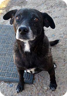 Labrador Retriever Dog for adoption in Aurora, Colorado - Hera