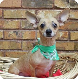 Chihuahua/Dachshund Mix Dog for adoption in Benbrook, Texas - Sadie
