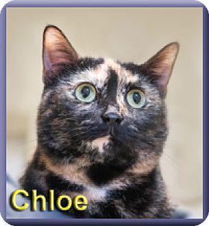 Domestic Shorthair Cat for adoption in Aldie, Virginia - Chloe