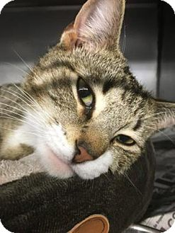 Domestic Shorthair Kitten for adoption in Voorhees, New Jersey - Bacardi -PetValu Chews Landing
