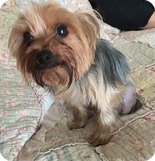 Yorkie, Yorkshire Terrier Puppy for adoption in Leesburg, Florida - Daisy