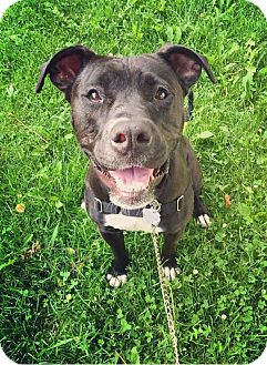 Boxer/Pit Bull Terrier Mix Dog for adoption in Oak Park, Illinois - Lizzie