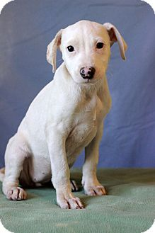 Shepherd (Unknown Type) Mix Puppy for adoption in Waldorf, Maryland - Ashton