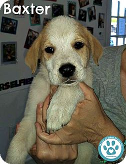 Pointer/Collie Mix Puppy for adoption in Kimberton, Pennsylvania - Baxter