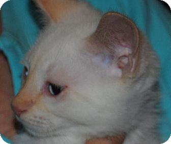 Siamese Kitten for adoption in Vacaville, California - Kennedy